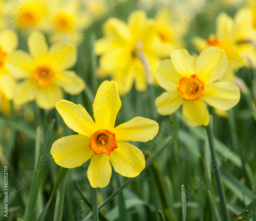 yellow trumpet daffodils in a daffodil field