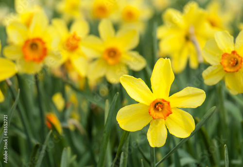 Detail of yellow trumpet daffodils in a daffodil field
