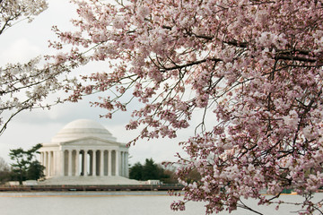 Thomas Jefferson Memorial during Cherry Blossoms