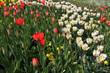 Red and white tulips on a flowerbed in a park
