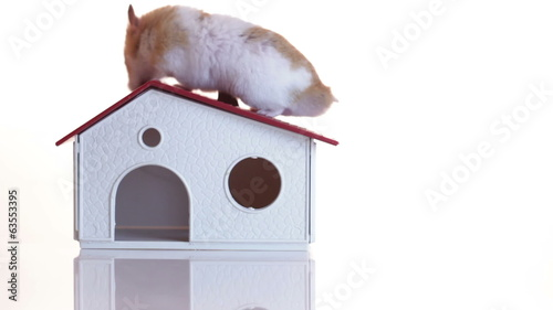 Hamster climbing up on his house. Isolated on white