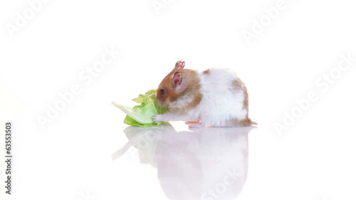 Hamster and green lettuce