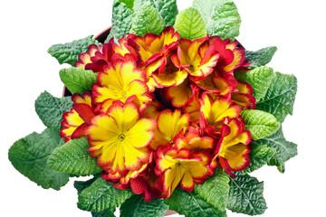primula fiori e foglie