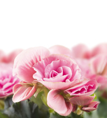 pink begonia flowers, isolated