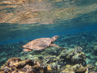 Sea turtle swimming over the corals
