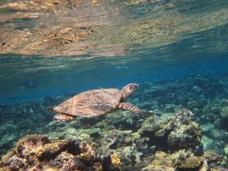 Sea turtle swimming over the corals