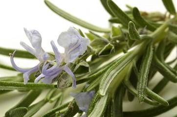 Rosmarinus officinalis Rosmarino Romarin Rosemary
