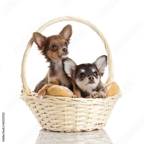 Lovely adorable chihuahua puppies