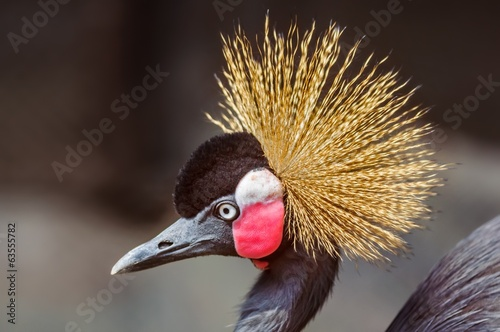 Close up portrait of Crowned Crane, Balearica pavonina