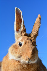 Hare face