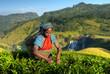 Indigenous Sri Lankan Tea Picker Picking Tea