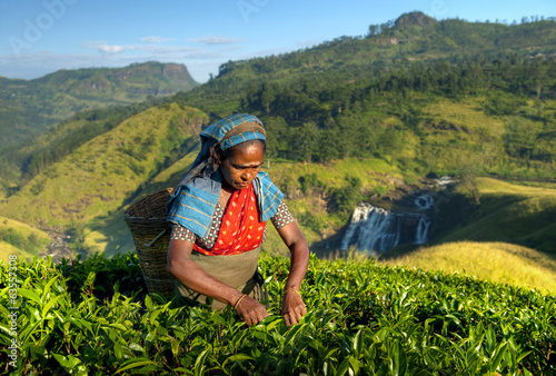 Indigenous Sri Lankan Tea Picker Picking Tea