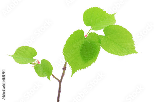 Fresh linden leaves isolated on white