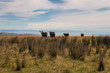 four black cows on grassy meadow