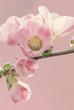 Rosa Magnolien. Liebe zur Natur.