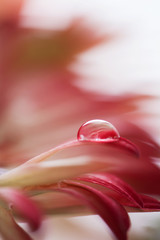 Tiny drop on red Gerbera flower.
