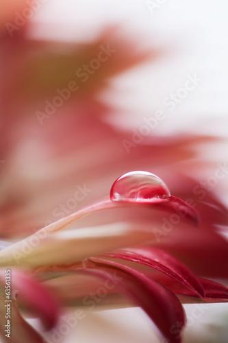 Keuken foto achterwand Gerbera Tiny drop on red Gerbera flower.