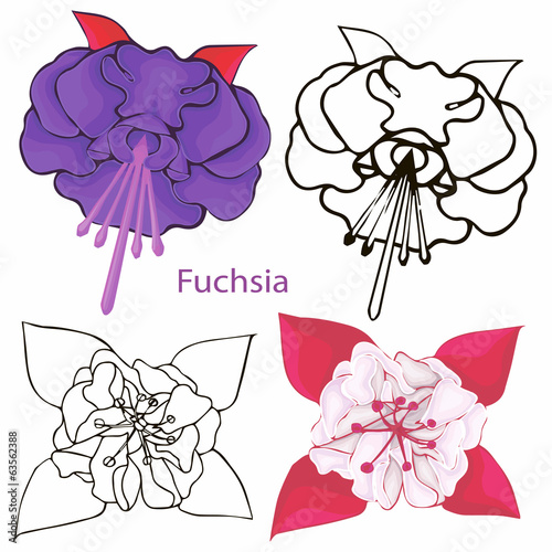 fuchsia flowers. contours of flowers on a white background.