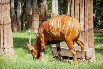 Beautiful Bongo antelope (Tragelaphus euryceros)