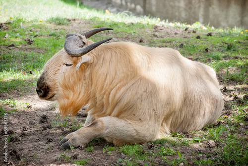 Golden takin (Budorcas taxicolor bedfordi)