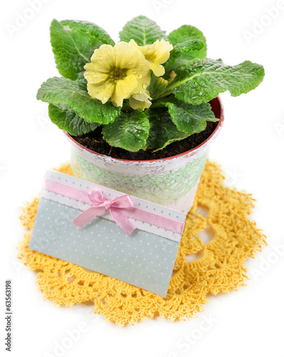 Yellow primrose in pot on color napkin isolated on white