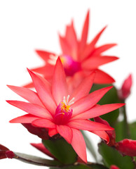 light red christmas cactus