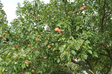 A Fruit Tree with a Good Crop of Apples.