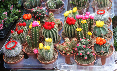 A Collection of Colourful Cactus Plants for Sale.