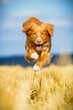 Nova Scotia Duck Tolling Retriever im Flug