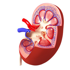 Anatomy of kidney cross section