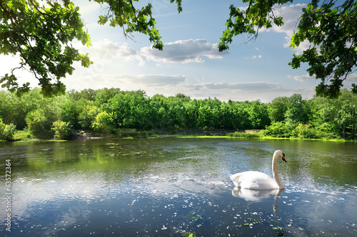 Foto op Canvas Zwaan Swan on the river