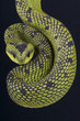 Great Lakes Bush Viper / Atheris nitschei