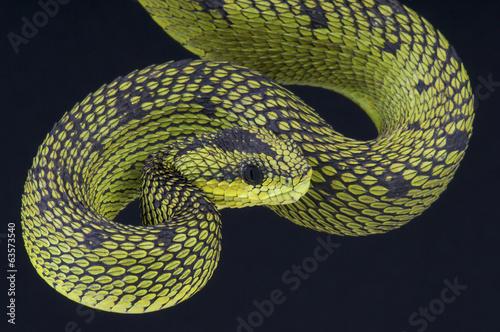 Staande foto Afrika Tree viper / Atheris nitschei