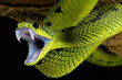 Attacking snake / Atheris nitschei - 63574143