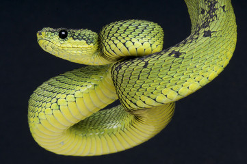 Coiled up viper / Atheris nitschei