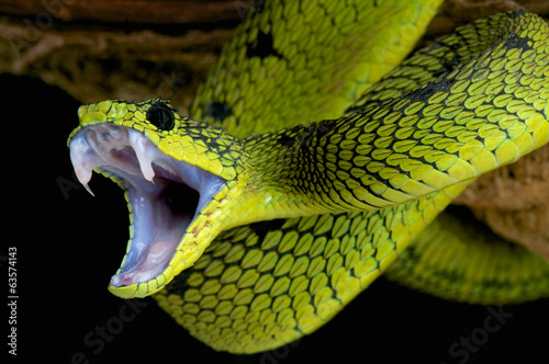 Fotobehang Overige Attacking snake / Atheris nitschei