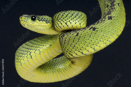Staande foto Afrika Coiled up viper / Atheris nitschei