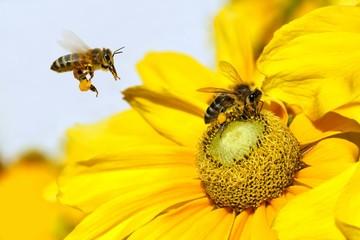 Bee in flight and Dahlia Garden (Dahlia Cav.)