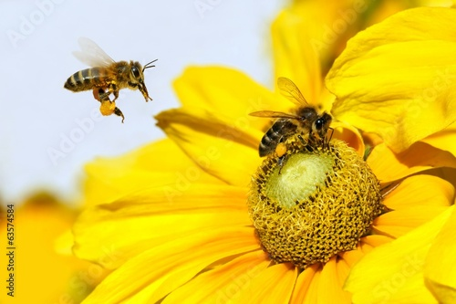 Foto op Canvas Bee Bee in flight and Dahlia Garden (Dahlia Cav.)