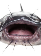Mouth catfish