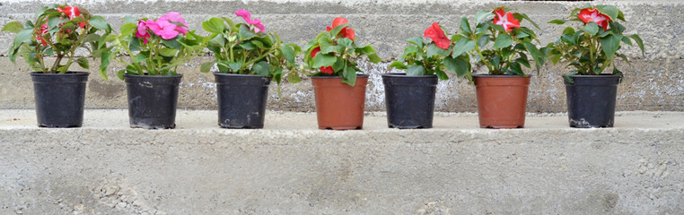 Spring flowers in a plastic pots , ready for planting