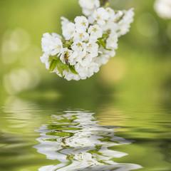 Blütenzweig mit Biene und Wasseruntergrund