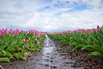 Pink Tulips on a muddy field with puddles after rain
