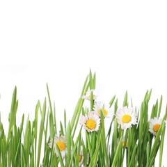 Gras isoliert mit Blümchen