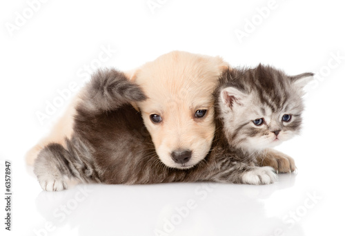 golden retriever puppy dog playing with british kitten. isolated