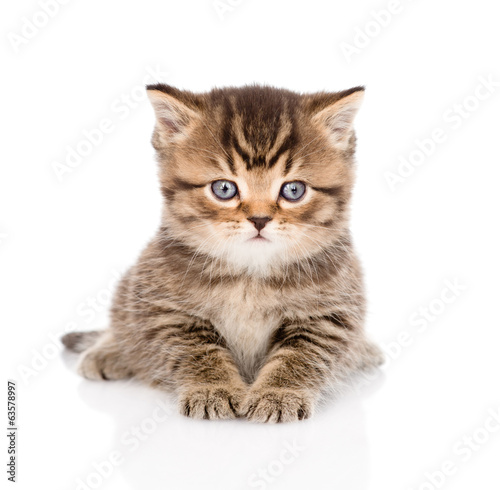 baby british tabby kitten lying in front. isolated on white