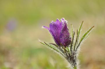 Pasque flowers, Pulsatilla patens