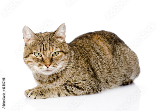 tabby cat lying in front and looking at camera. isolated