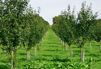 View to the apple plantation with young apple tree.