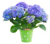 Fototapety blue hortensia flowers in green pot